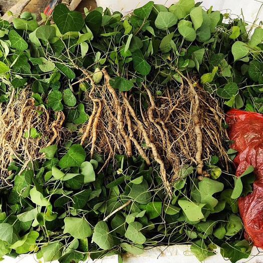 亳州谯城区防己种子 粉防己种苗种植基地,野外驯化粉防己苗批发价格