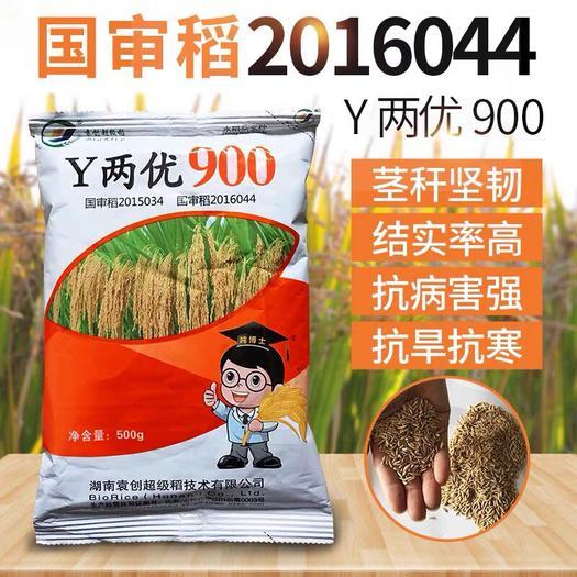 长沙长沙县 y两优900 杂交水稻 水稻种子 稻种 袁隆平稻谷种子