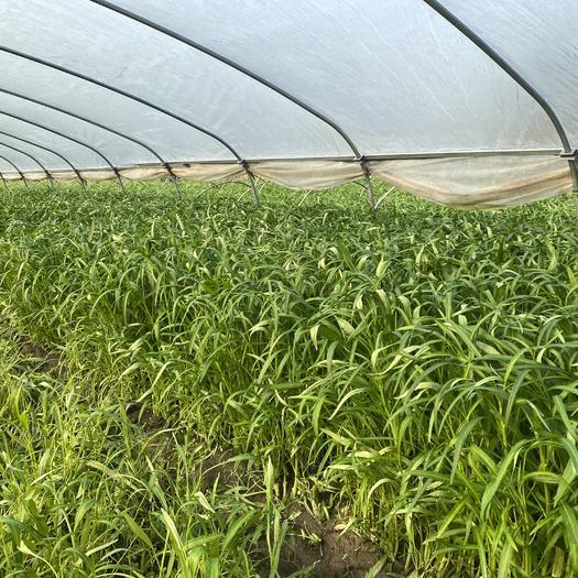 佛山南海区柳叶空心菜 40 ~ 45cm