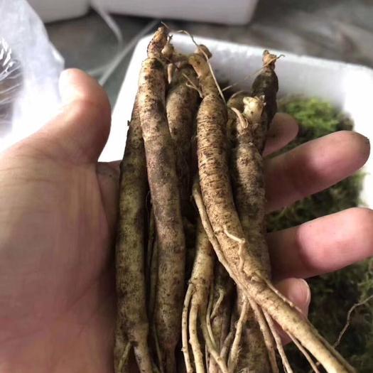 抚松县 长白山本地参农种植鲜人参 带土泡酒煲汤参