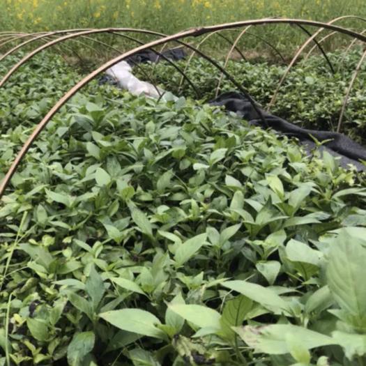 黔南独山县板蓝根种苗 品质优良出售