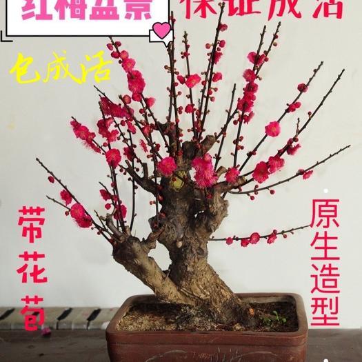 上海崇明造型楊梅 高檔原聲造型紅梅盆景苗木包成活帶花苞濃香耐寒盆栽地栽