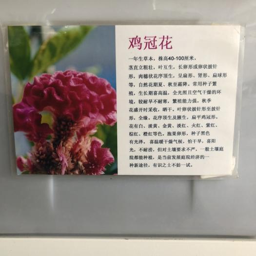 宿迁沭阳县 鸡冠花种子