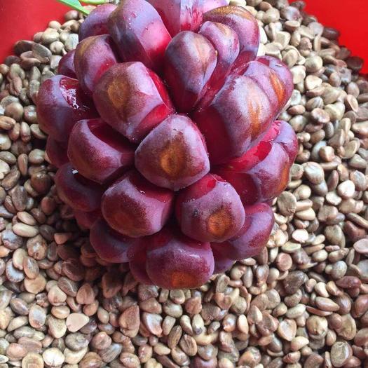 怀化通道侗族自治县黑老虎种子 原产地优质品种一手货源出芽率95%以上