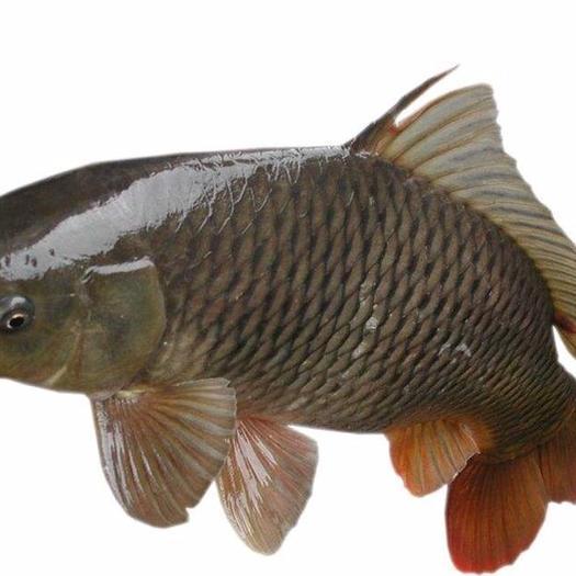 高州市 鲤鱼苗/禾花鲤鱼/水花提供优质的鱼苗