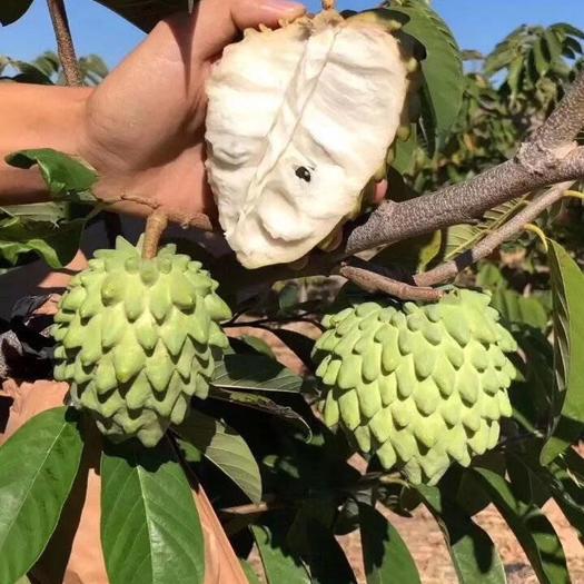揭阳普宁市释迦果苗 释迦果嫁接苗凤梨品种小中袋苗 当年结果无籽果实大高产量