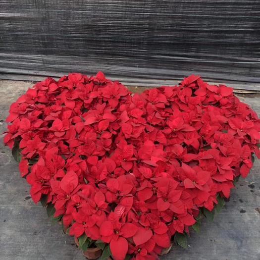 揭陽普寧市一品紅 造型樹 一品紅高40-50公分盆栽 花色艷麗花期長 適合家居擺放旺財