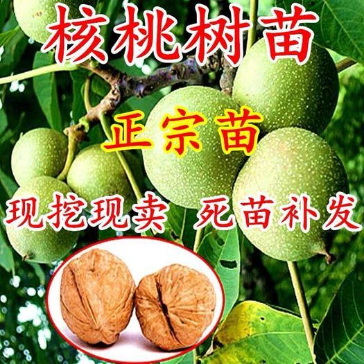 上海核桃苗 正宗薄皮核桃树苗、山核桃、文玩核桃、8518树苗