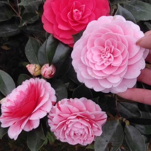 普寧市 五色赤丹茶花 高40公分多分枝一樹多色茶花盆栽帶花發貨