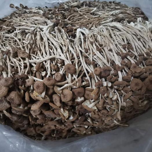 宁德蕉城区 新货特级不开伞茶树菇干货 农产品特产干货古田货源厂家
