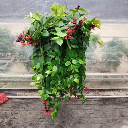 揭陽普寧市 口紅吊蘭盆栽枝條下垂 莖長可達1米葉面濃綠色葉背淺綠色葉綠