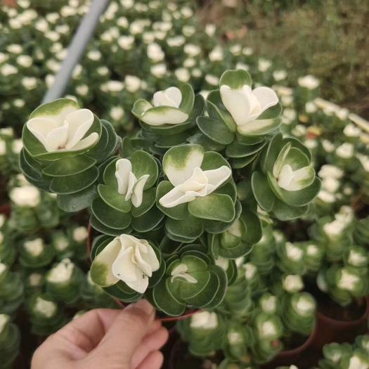 普寧市 金錢木 本色 錦 自然錦 各種規格都有 趣味小盆栽好養*