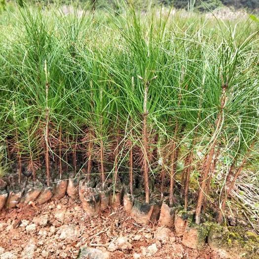 普宁市湿地松树苗 湿地松高30公分袋苗湿地松苍劲而速生 适应性强 用于造林