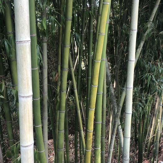 赤水市菜架竹 可大小
