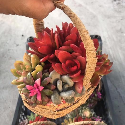 普寧市多肉組合 多肉花籃組合盆栽一件6盆適應 繁殖能力很強好養易*美觀