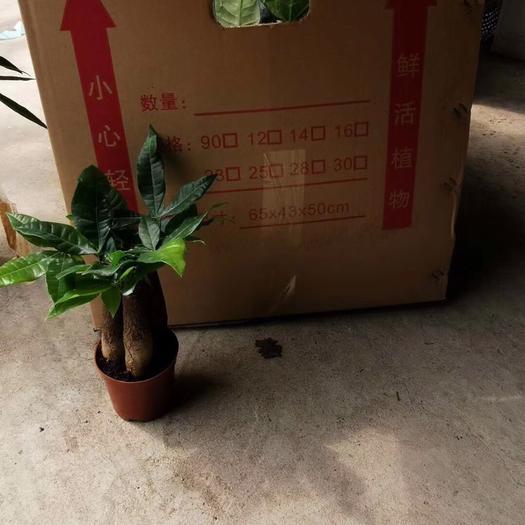 揭陽普寧市 三桿發財樹小盆栽高20-30公分 桌面小盆栽凈化好養活