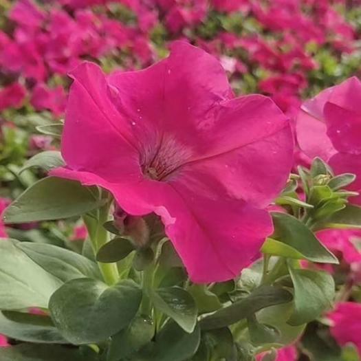 赤峰元宝山区牵牛花种子 矮牵牛F1种子,株型紧凑,整齐度好,花朵密集,颜色鲜亮。