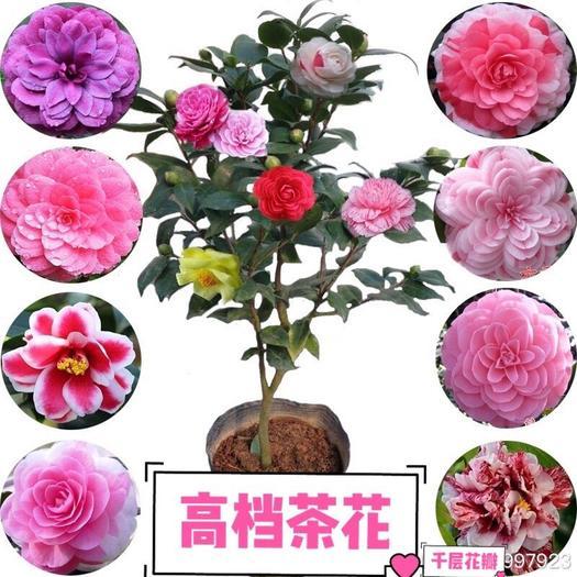 上海 七彩茶花!香妃山茶花樹苗!帶花苞、耐寒、耐旱、四季開花