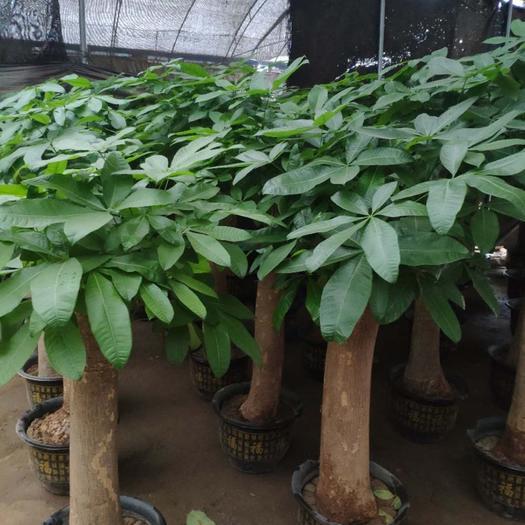 揭陽普寧市 單桿發財樹大盆栽大號2 3號單桿龍光大單桿 桿直根系發達