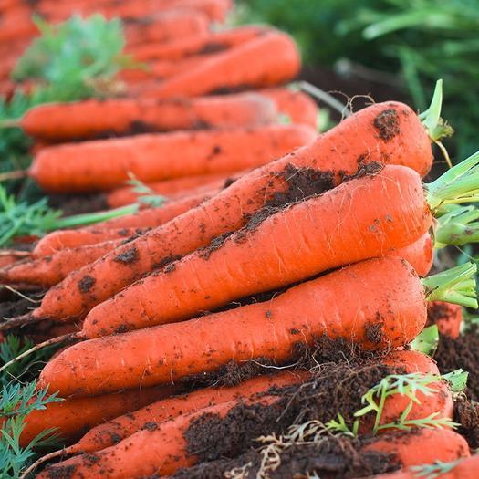 开封祥符区 【胡萝卜新鲜】红萝卜农家自种现挖新鲜蔬菜批