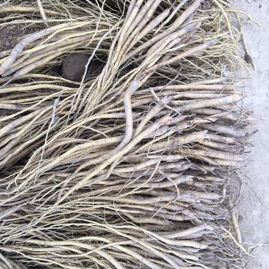 定西陇西县黄芩 产地优质种苗。无烂头。一斤240颗左右