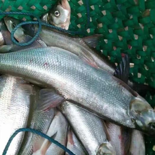 湖州吴兴区翘嘴红鲌 翘嘴白鱼,白条鱼。送垂钓场,钓鱼场,专车配送。包邮。价格便宜