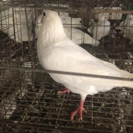 廣州花都區肉鴿 長期大量出售淘汰老鴿8到1斤以上,可自提,運送歡迎咨詢
