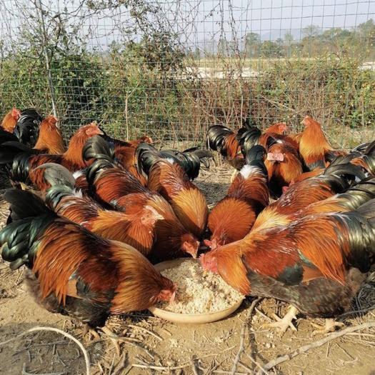 南寧西鄉塘區 清遠麻2號雞苗  麻雞苗 出殼苗已打馬立克 基地直供品質優