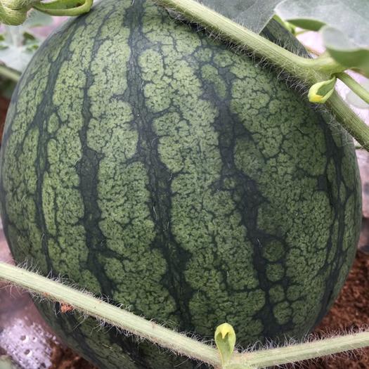 珠海斗门区西瓜种子 农之友礼品瓜系列新品种贵妃种子,15克原装(约280粒种子)