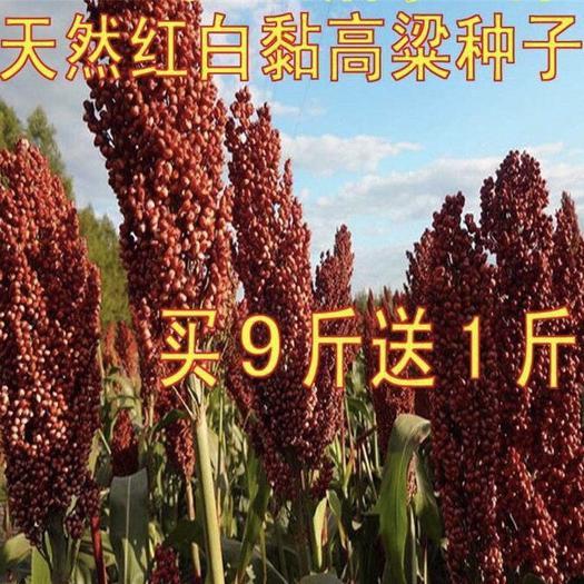 宿遷沭陽縣 紅高粱種子 抗四雜交高粱種子 抗旱 高產 釀酒甜高