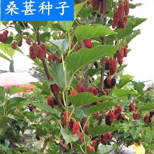 沭阳县 果树桑树种子林木果桑桑椹种子品质保证量大优惠
