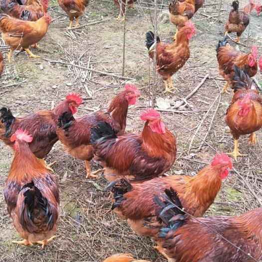 南充顺庆区 200天跑山鸡、老鸡,价格具体联系