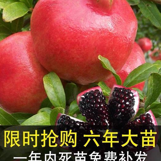 上海崇明 超大!嫁接!石榴树苗、当年结果,包成活、死苗补发!