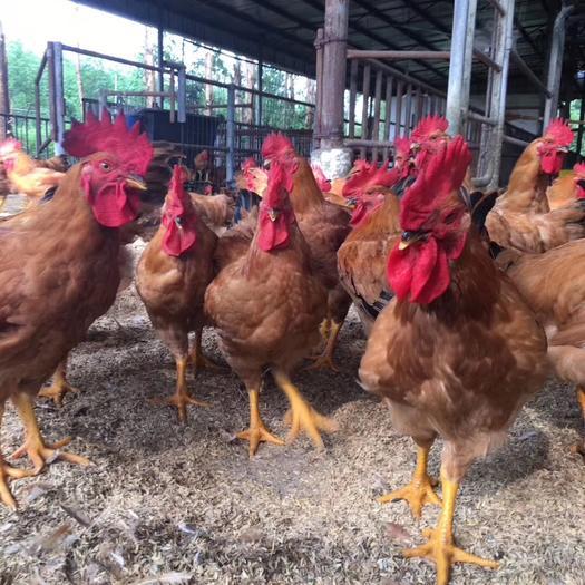 南充顺庆区 200天九斤黄老鸡,价格具体联系