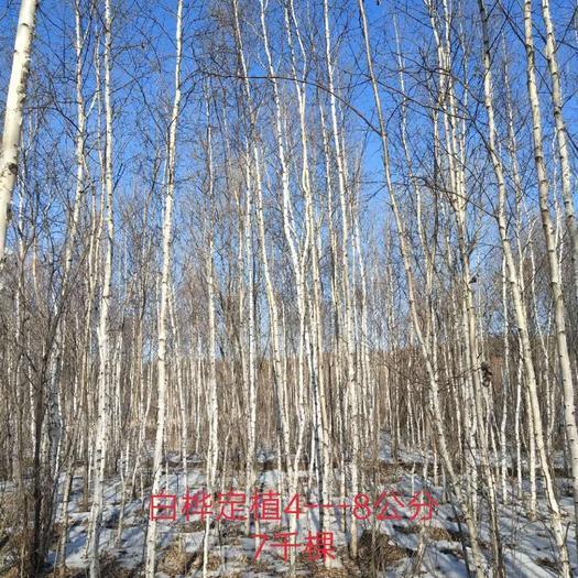 伊春铁力市白桦树苗 定植白桦