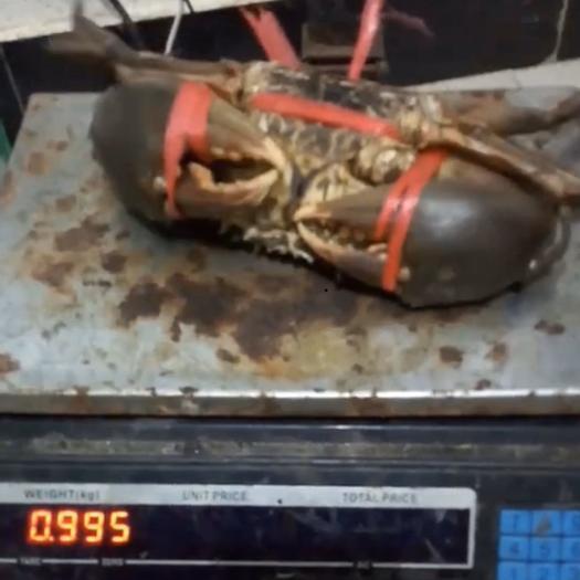 哈尔滨道里区 坦桑尼亚大青蟹,300公斤起运,当天直达国内(各种规格)