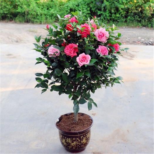 蒼溪縣 樹形優美的茶花樹