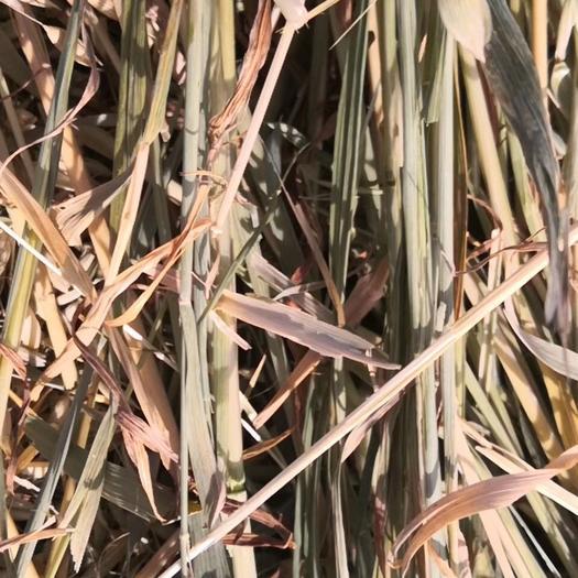 武威民勤县 优质苜蓿草、燕麦草