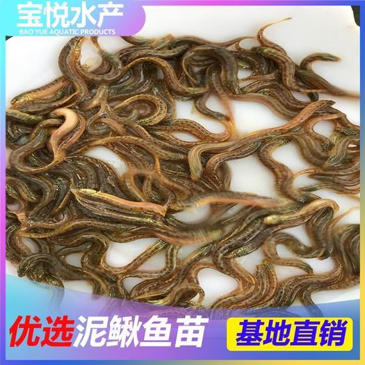 广州花都区 台湾泥鳅苗  大量批发