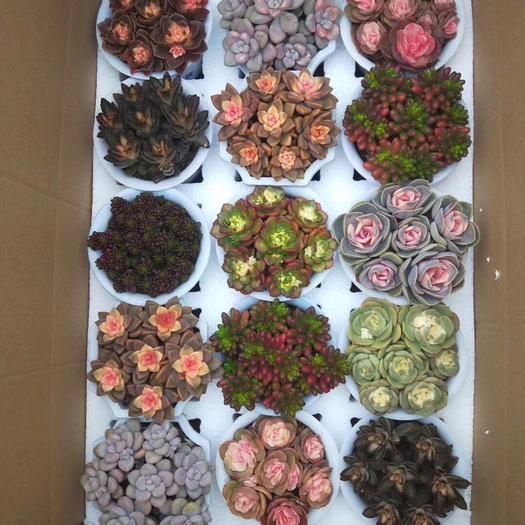 普寧市 多肉組合盆栽15裝混色 形態自然 顏色靚麗習性強健的
