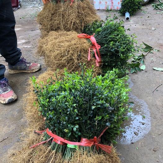 桂林阳朔县枳壳苗 积壳苗可以用做果园围栏,也叫臭橘苗,可以用来嫁接果苗。