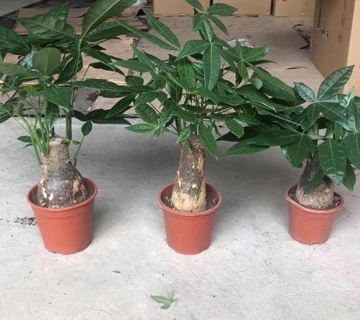 揭陽普寧市 單桿發財樹桌面小盆栽 四季常青枝葉美觀 寓意吉祥凈化空氣