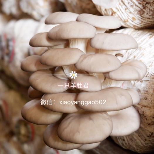 成都大邑县 平菇 新鲜 姬菇 蘑菇 肉厚肥嫩 绿色 有机 食用菌菇