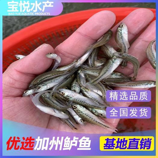 广州花都区 大量供应优质加州鲈鱼苗 已训化吃料 提供养殖技术 鲈鱼水花