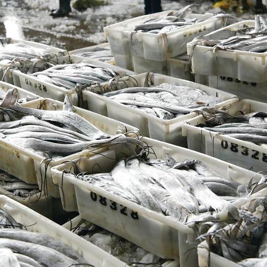 潮州饒平縣 深海小眼帶魚新鮮冷凍廣東南海帶魚中段鮮活特級刀魚段大整箱
