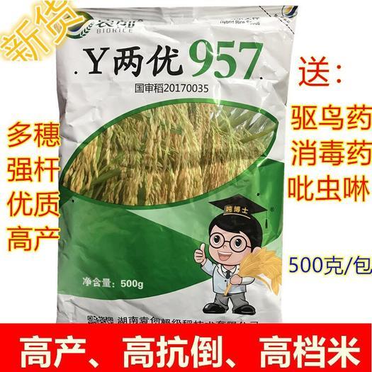 长沙长沙县 Y两优957 抗倒 优质稻 杂交水稻种子