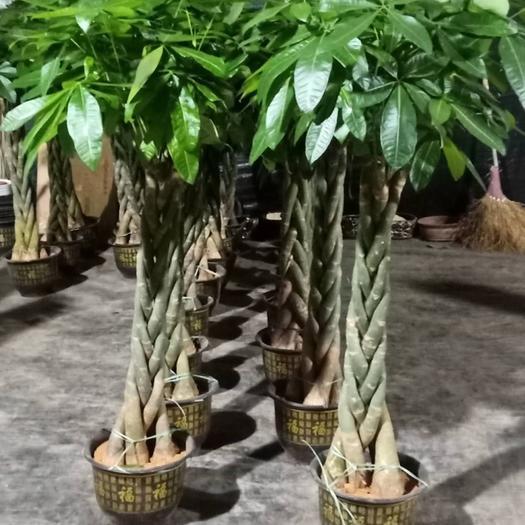 揭陽普寧市 五辮發財樹大盆栽高1.5米造型獨特枝葉茂盛根系發達好養活