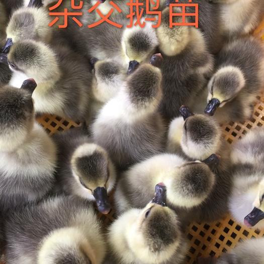南宁西乡塘区 杂交鹅苗 包疫苗,包运输,教授技术养殖