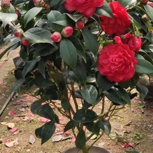 普寧市 赤丹紅茶花袋苗 常綠灌木和小喬木花苞多帶花原土原杯發根系發達