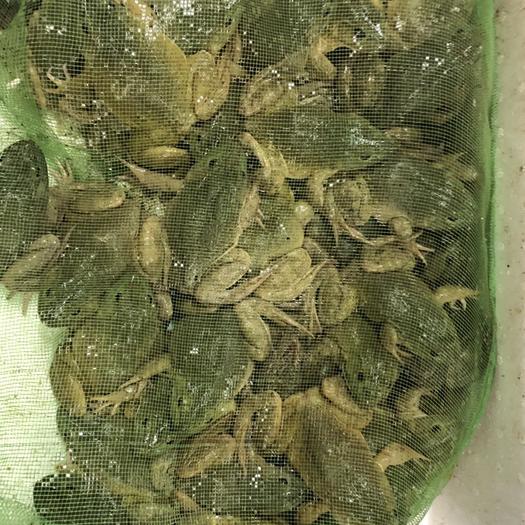 重庆渝北牛蛙 人工养殖